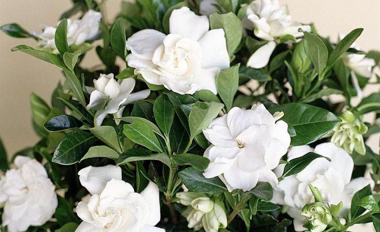 گاردنیا گیاهی دوست داشتنی با بوی دل انگیز