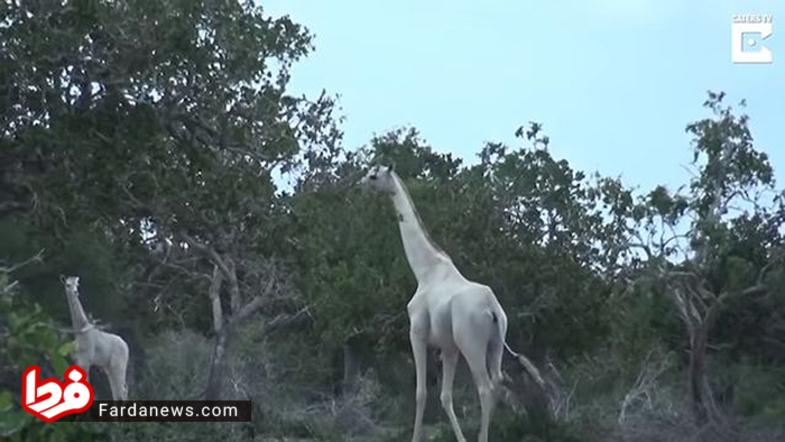 زرافه سفید- این زرافه مادر به همراه بچه اش که هر دو زال هستند در شرق کنیا دیده شدند.