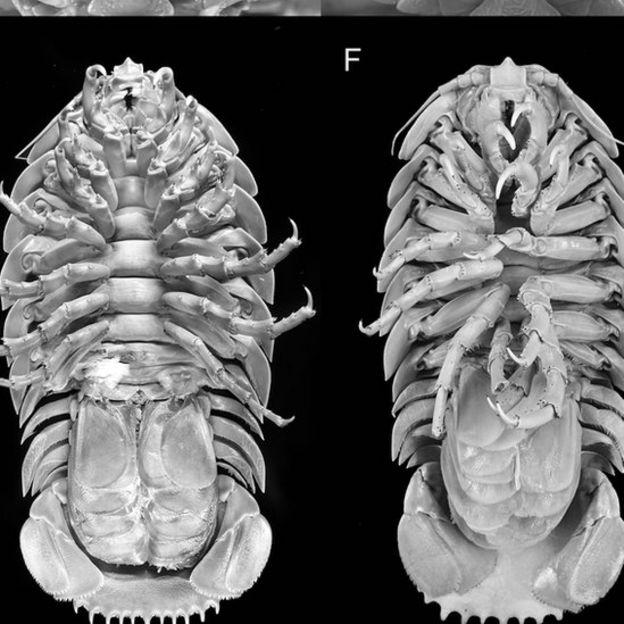 سوسک غولپیکری که در کف اقیانوس زندگی میکند