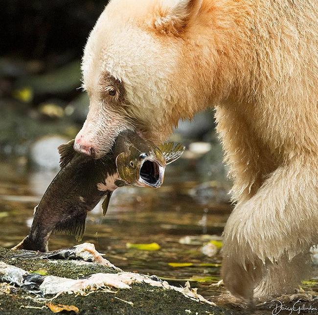 فریاد ماهی زیر دندان های تیز «خرس کرمود»