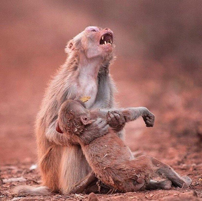 عکس: گریه و زاری میمون مادر پس از مرگ فرزندش