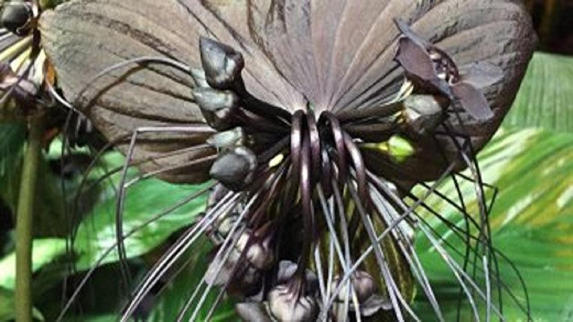 گیاه کمیاب و عجیبی که شبیه خفاش است!