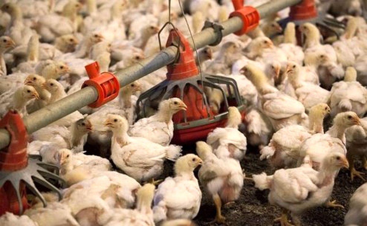 سویا مرغ را گران کرد؟