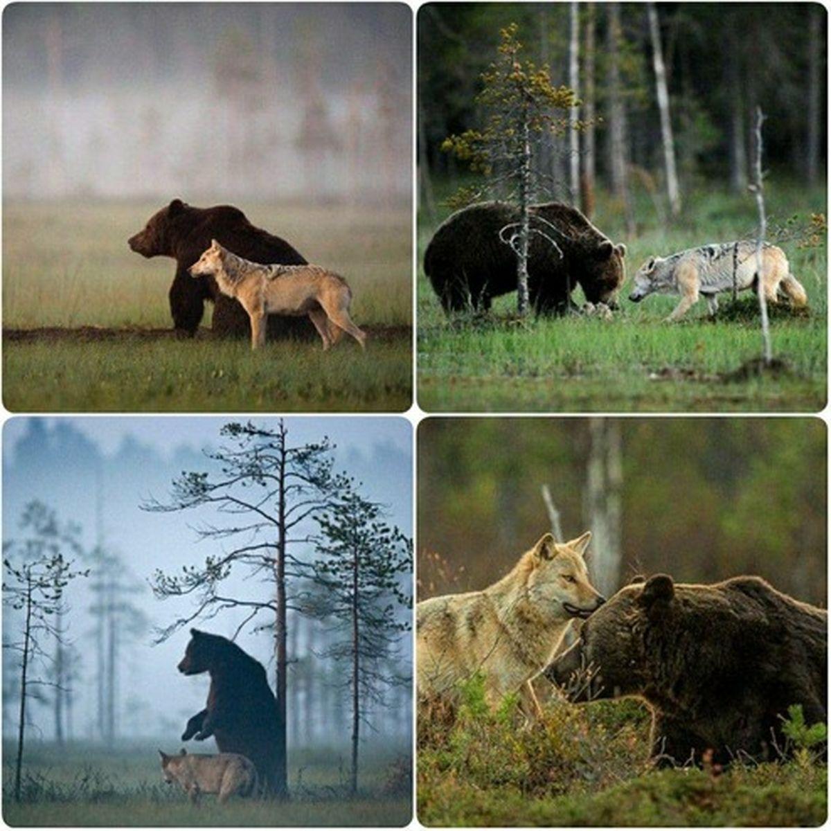 عکس: دوستی خرس قهوهای و گرگ خاکستری