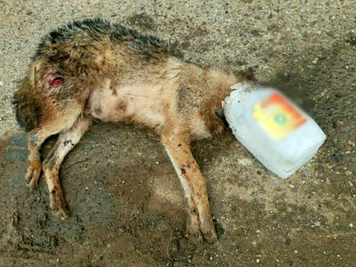 تصویر دردناک از تلف شدن روباه در مازندران
