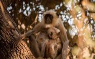 واکنش باورنکردنی میمونها با دیدن یک میمون غیرواقعی! +فیلم