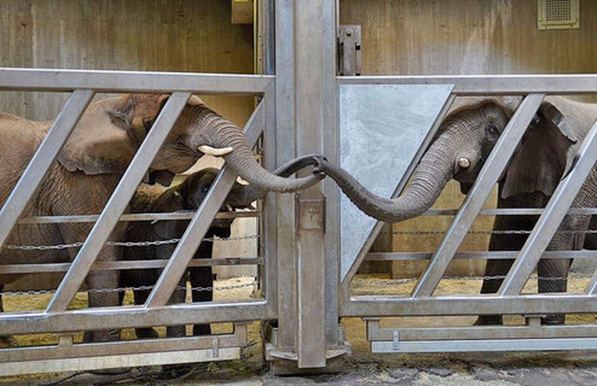 لحظع دیدار فیل مادر پس از ۱۲ سال با دختر و نوههایش +عکس