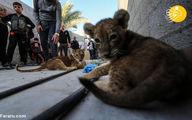 تصاویر: دو بچه شیر حیوان خانگی کودک فلسطینی!
