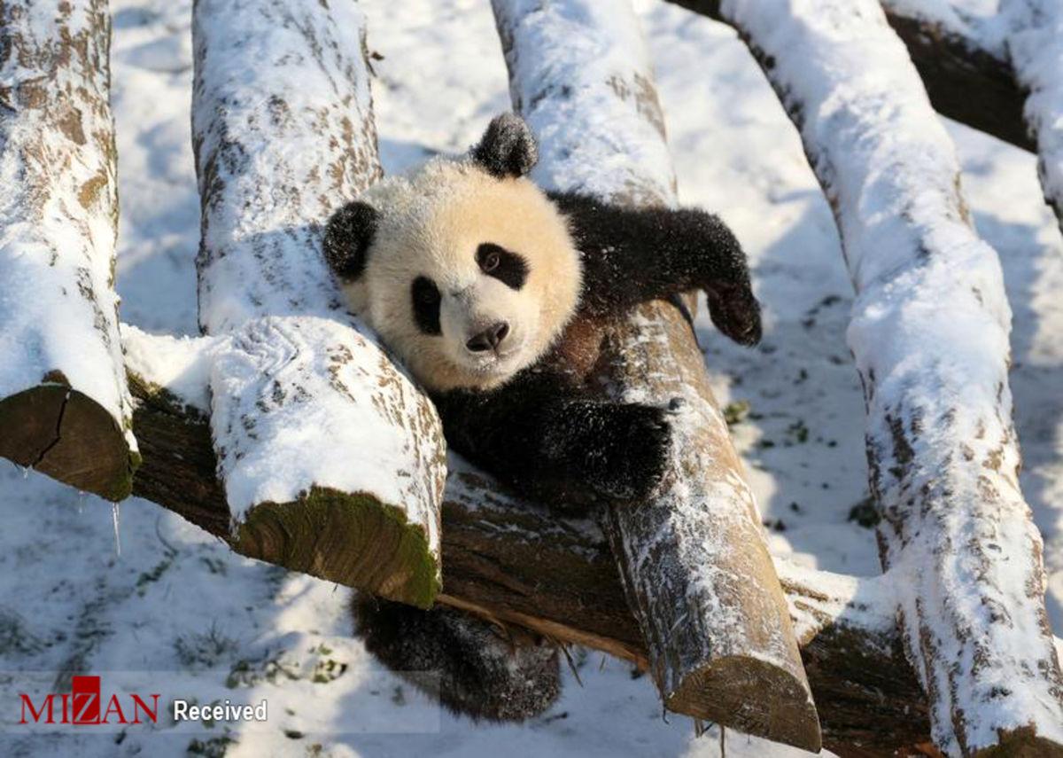 عکس: پاندای بازیگوش در باغ وحشی در بلژیک