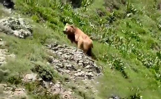 تصویری ناب از خرس قهوهای در البرز