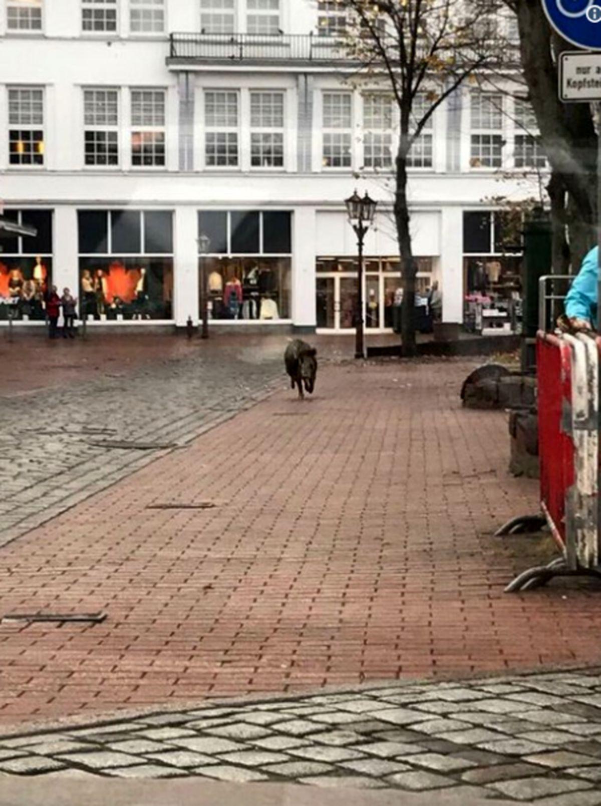 دو گراز وحشی یک شهر را برهم ریختند +تصاویر