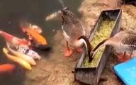 غذا دادن دیدنی دو اردک به ماهیها +فیلم