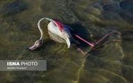 آنفولانزا دلیل مرگ ۱۱۷ پرنده مهاجر در میانکاله بود؟