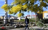 تصاویر: شکوفایی درختان آکاسیا در سوچی