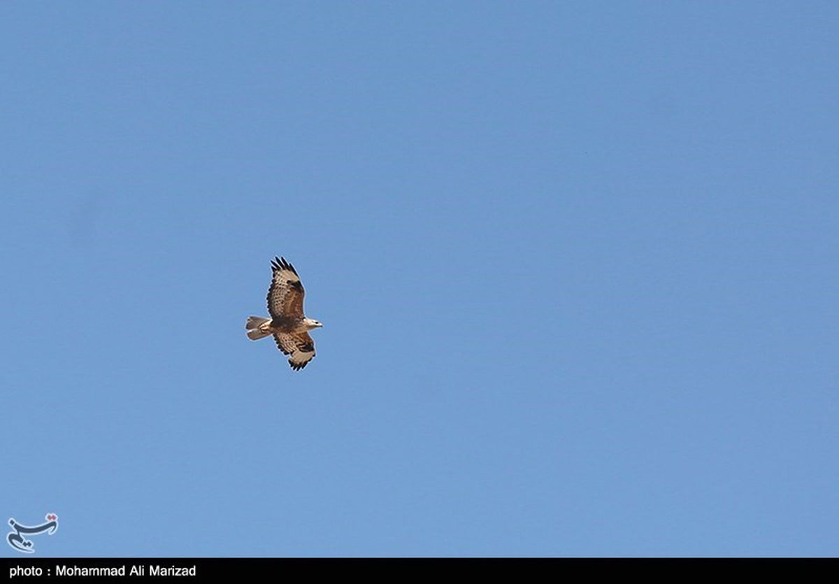 پرواز پرنده نادر در آسمان تهران +عکس
