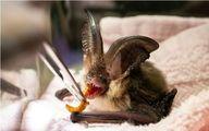 عکس: غذا دادن به یک خفاش مصدوم
