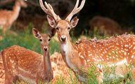 گوزن زرد ایرانی از حیوانات در حال انقراض