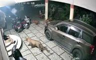 حمله هولناک پلنگ گرسنه به یک سگ در حیاط خانه +فیلم