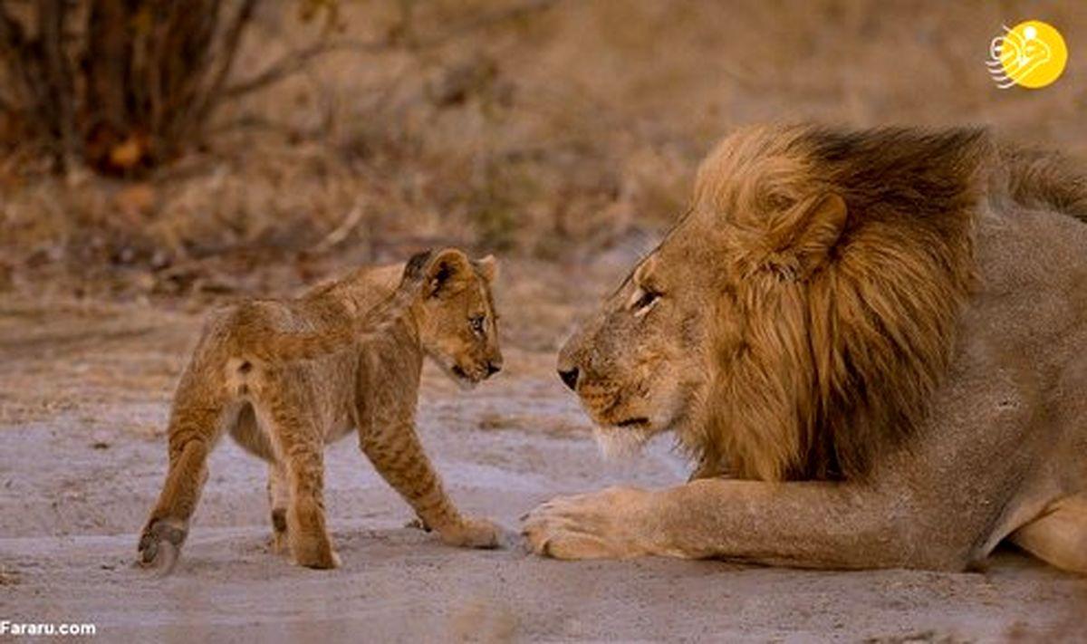 تصاویر: شیر یک چشم