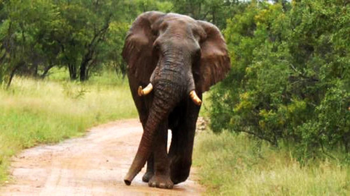 حمله وحشتناک فیل خشمگین به خودروها +فیلم