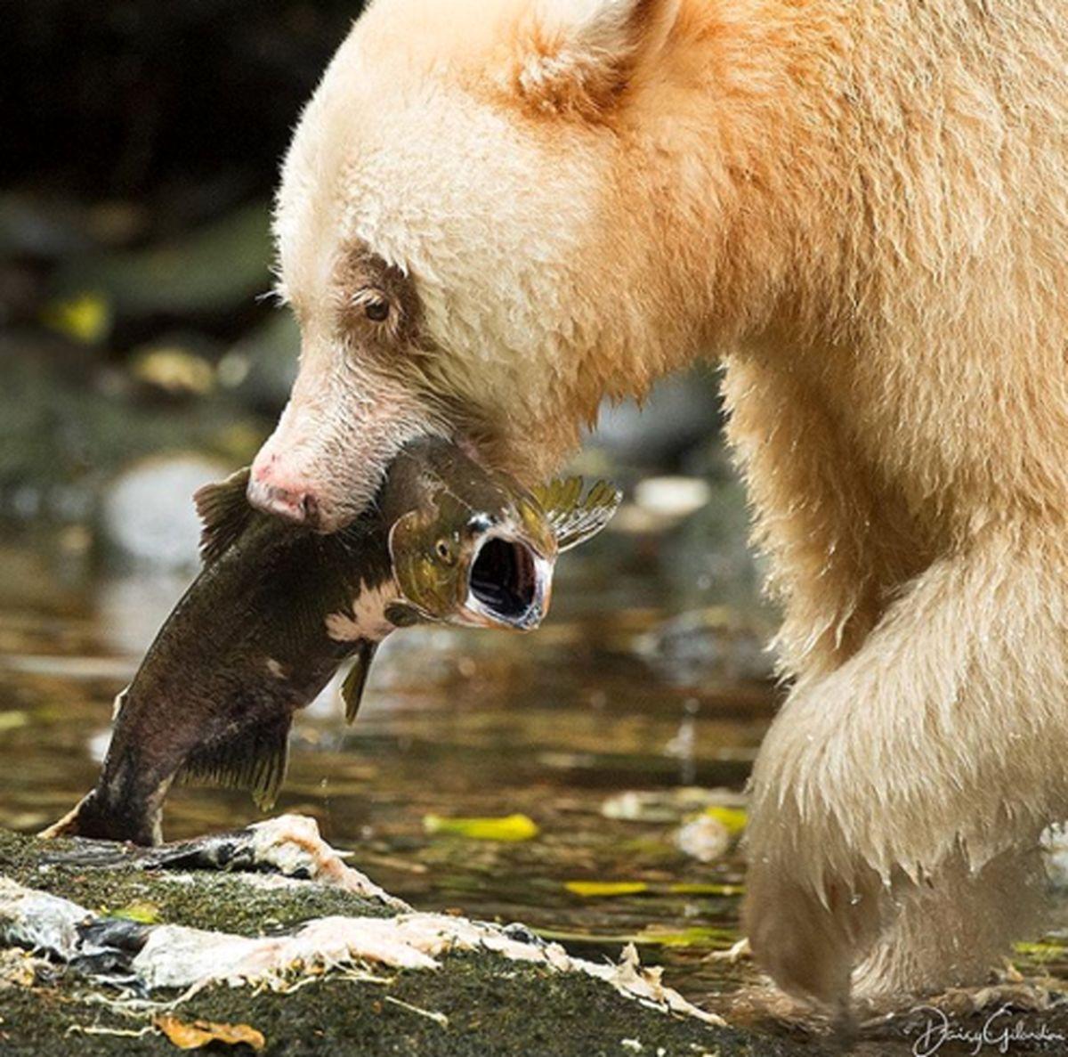 فریاد ماهی زیر دندان های خرس +عکس