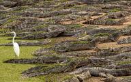 قدم زدن حواصیل مقابل یک لشکر تمساح +عکس
