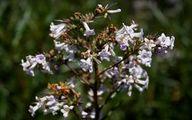 درمان آلزایمر با این داروی گیاهی