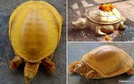 لاکپشت طلایی که در نپال جنجال به پا کرد +عکس
