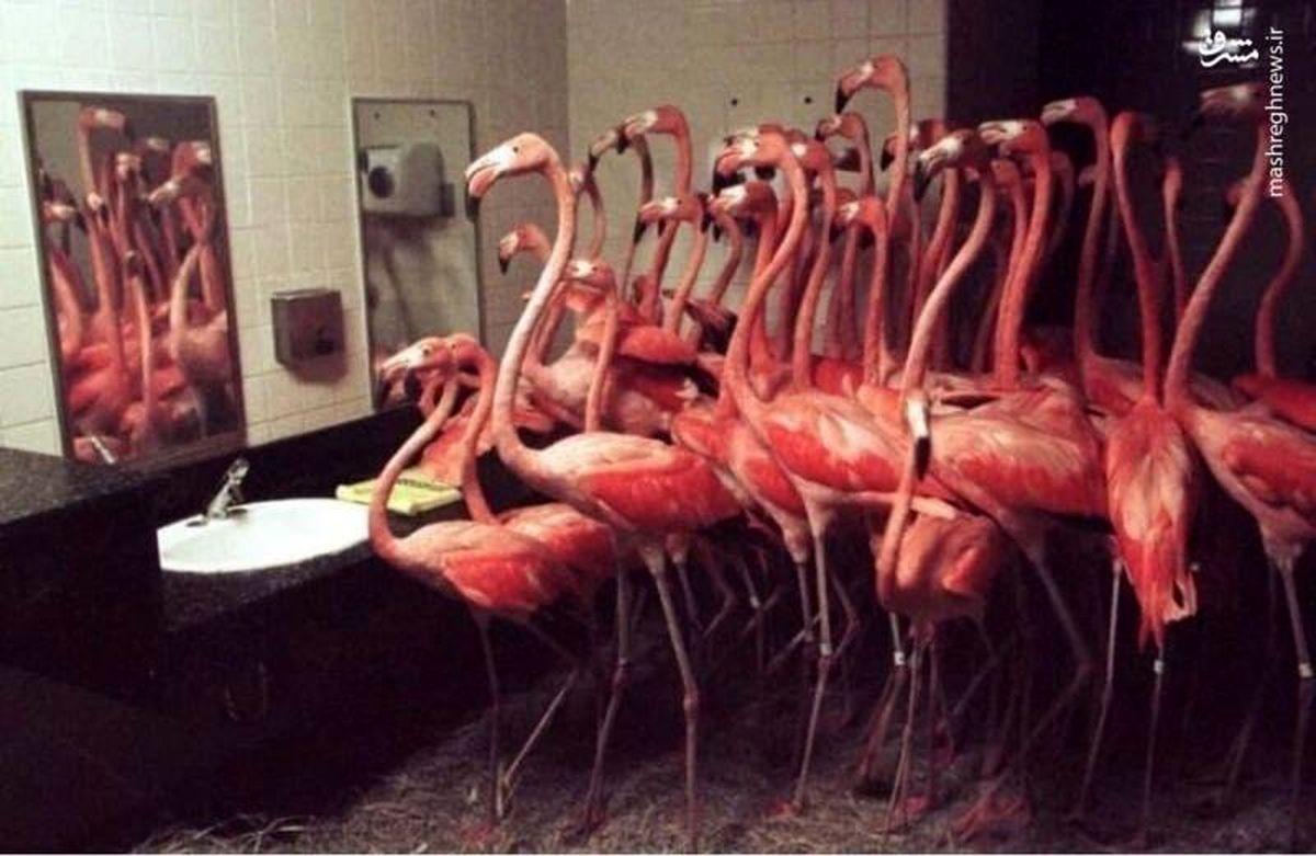 حبس فلامینگوها در دستشویی! +عکس