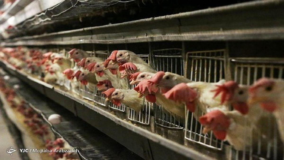مرغ رفت روی کانال ۲۴ هزار تومان