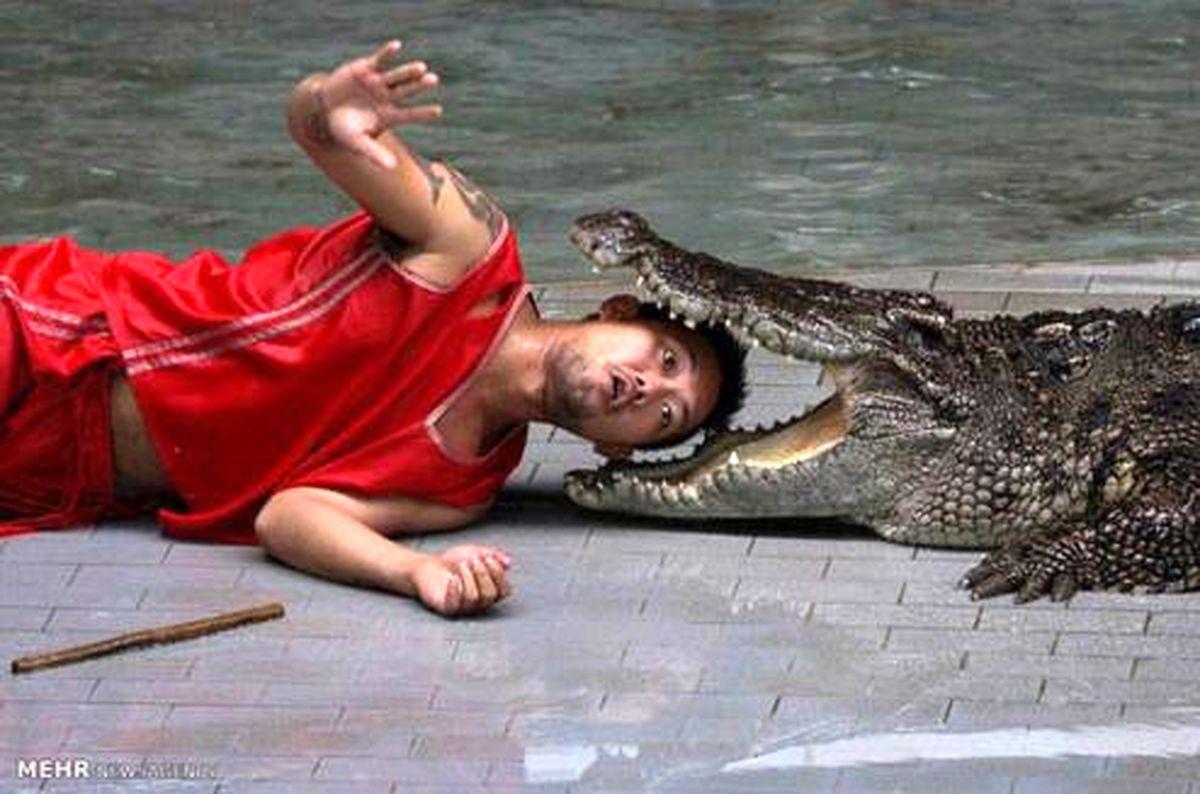 بازی خطرناک مرد تایلندی با کروکودیل +عکس