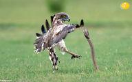تصاویر: عقاب، مار کبرا را دو تکه کرد و بلعید