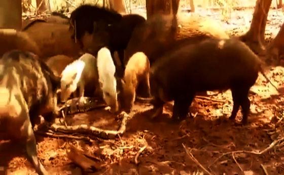 فیلم: ماری که غذای گرازها شد!