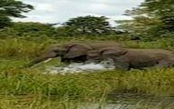 تمساحی که هوس خرطوم فیل کرد! +تصاویر