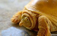 جنجال مذهبی در نپال بعد از پیدا شدن لاکپشت طلایی +عکس