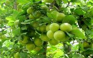 روش صحیح کاشت درخت گوجه سبز