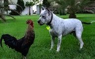 عاقبت شاخ و شانه کشیدن سگ برای یک خروس +فیلم