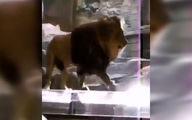 حمله شیر دست آموز به مربیاش در باغ وحش +فیلم