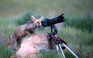 این روباه از دیدن چه صحنهای متعجب شده؟! +عکس