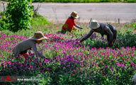 تصاویر: برداشت گل گاو زبان در مازندران