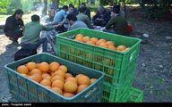 علت گرانی پرتقال ۵ هزاری باغداران