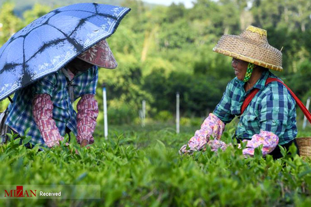 تصاویر: برداشت چای