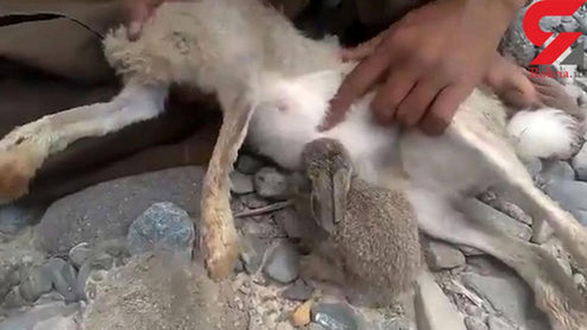 فیلمی تلخ از شیر خودن بچه خرگوش از مادری با سر بریده (۱۸+)
