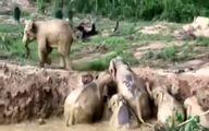 وقتی گله فیلها به هم کمک میکنند! +تصاویر