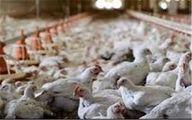 مرغها به جای دان، نانخشک و سیبزمینی خوردند